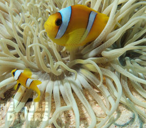 Clown Fish Eagle Divers Sharm El-Sheikh Red Sea scuba diveing holidays