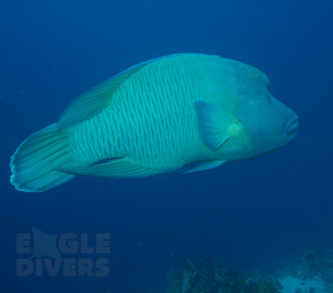 Napolean Wrasse Eagle Divers Sharm El-Sheikh Red Sea scuba diveing holidays