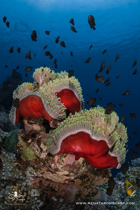 A typical red sea underwater scene captured beautifully by Renata