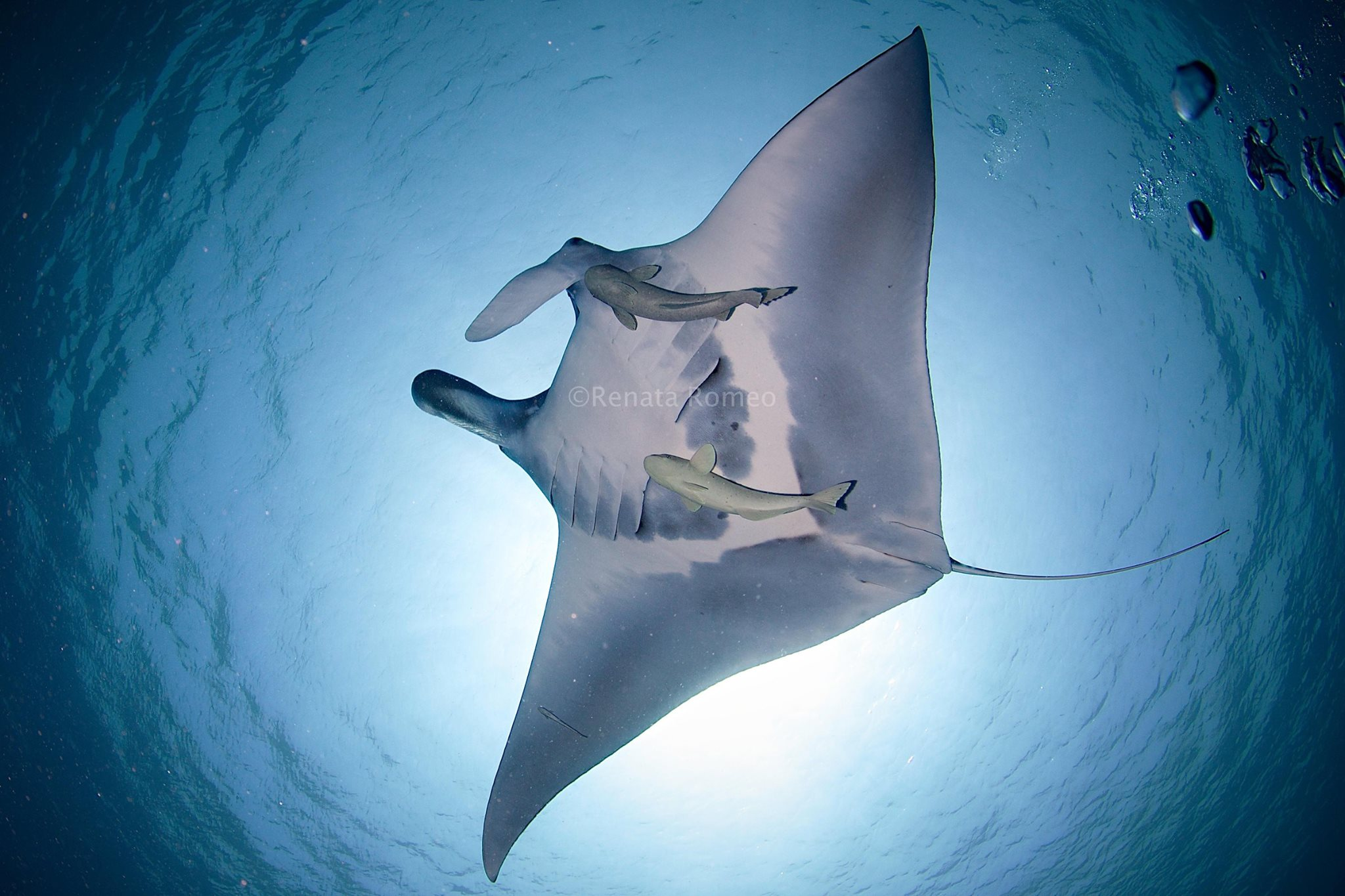 manta belly, magical dive in the Red Sea, sharm el sheikh, egypt
