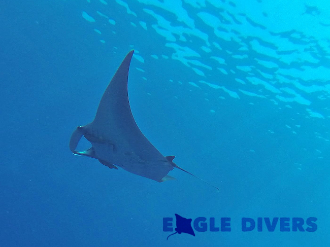 The majestic manta during a Red Sea dive