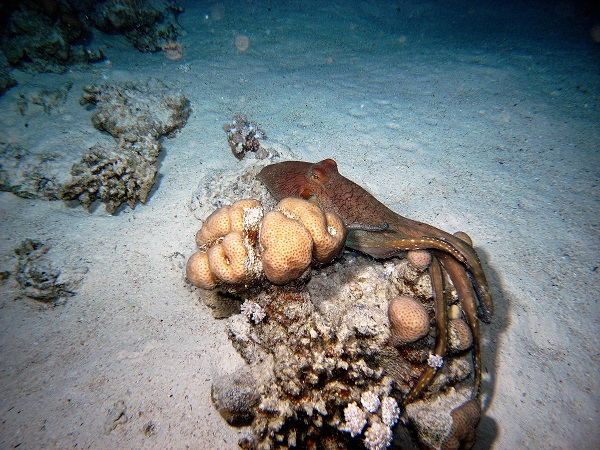 octopus during night dive