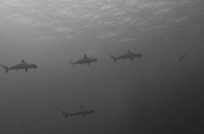 Hammerhead sharks, Red Sea Egypt